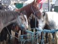 Ballinasloe-horse-fair-05
